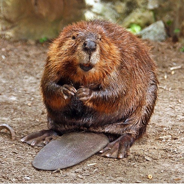 American_Beaver.jpg.8c2fe024e80989ffe727fa61d1e92c79.jpg