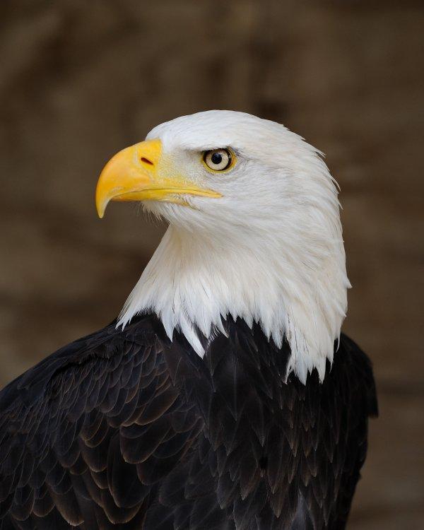 Bald_Eagle.thumb.jpg.8c9fdb8b07e3496d7c717f01f755d546.jpg