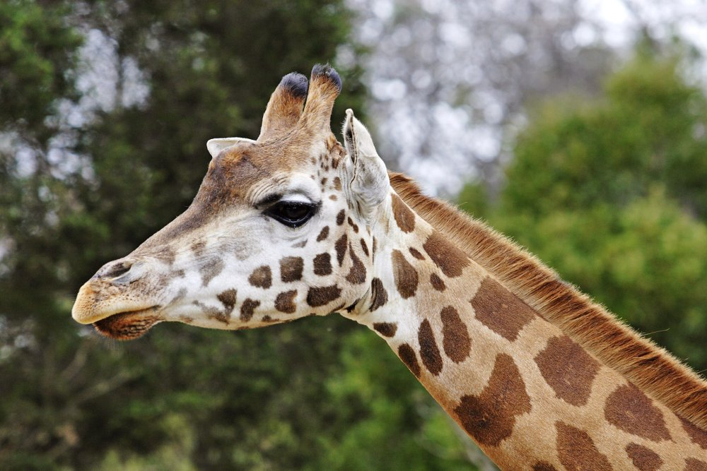Giraffe.thumb.jpg.dd7eaabb30f220da5941db050c766971.jpg