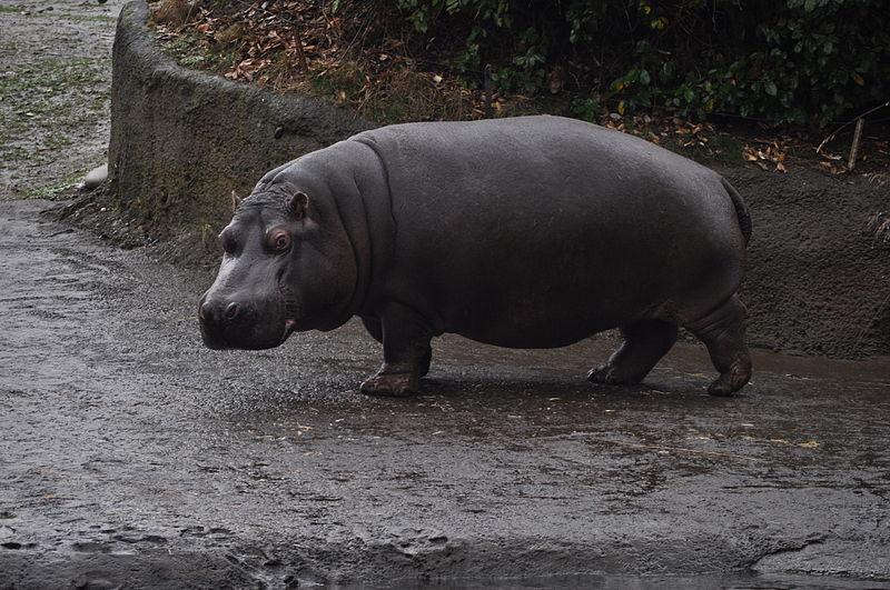 Hippopotamus.jpg.3b01ba870fe1f15545a597d650e38a9f.jpg