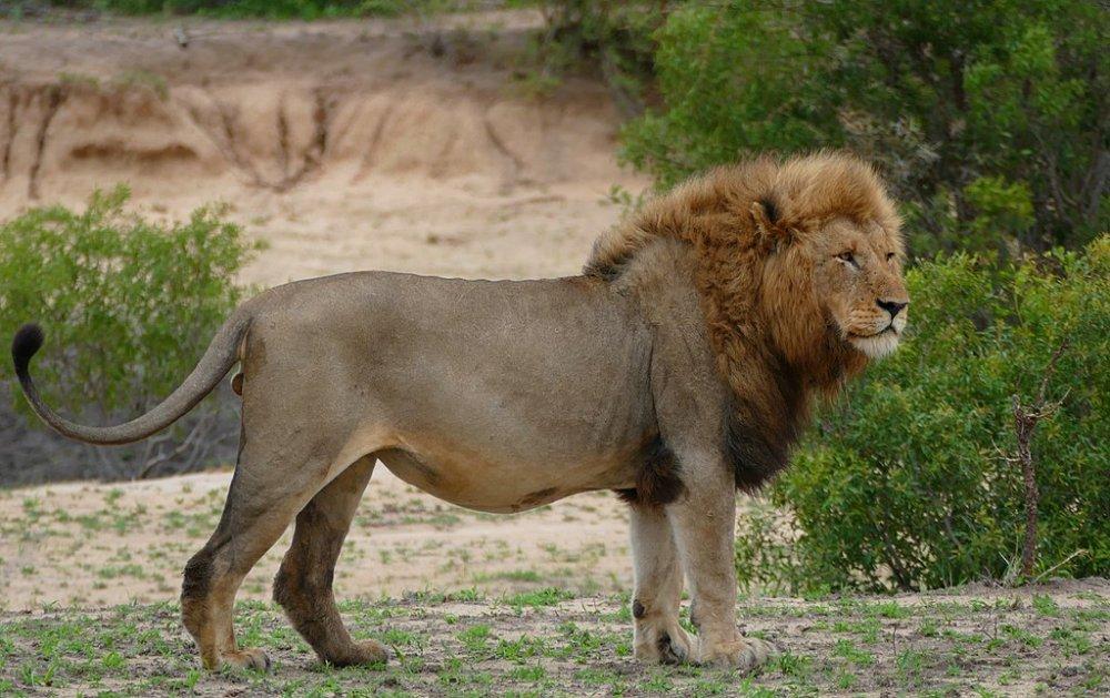 Lion.thumb.jpg.922be84a16cb9a0637f7ac3165bdbbe0.jpg
