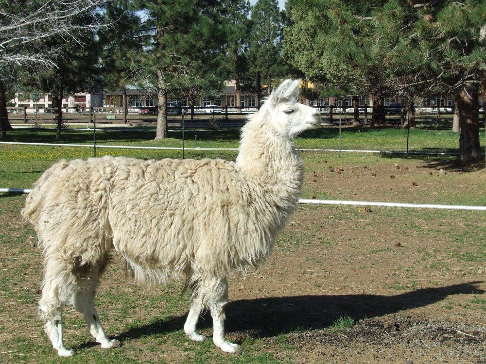 Llama.thumb.jpg.0baa19d3ec9000d11112aecc1ac3f126.jpg